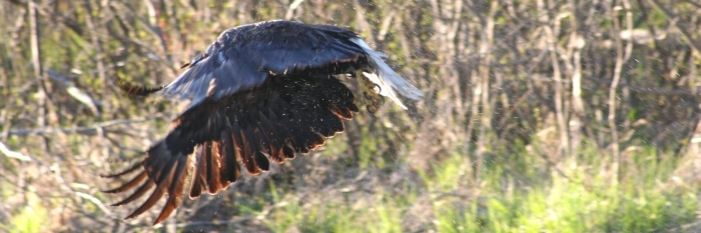 bald Eagle flying by