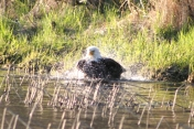 Bald eagle shaing off the bath water