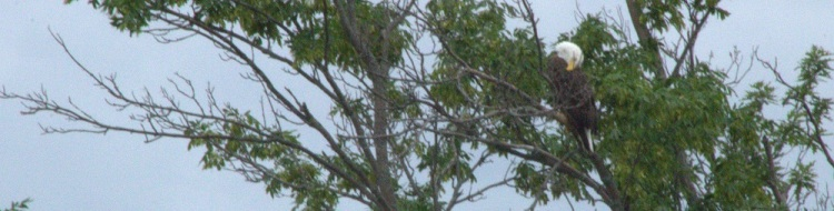 Bald eagle Preening email