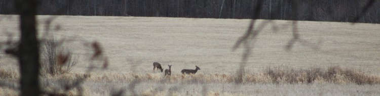 Spring Deer in Jans field