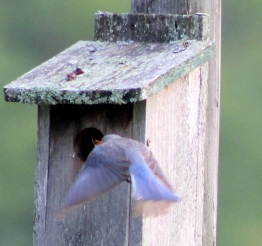 Bluebird in flight E