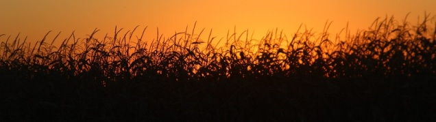 Sunset through the corn email