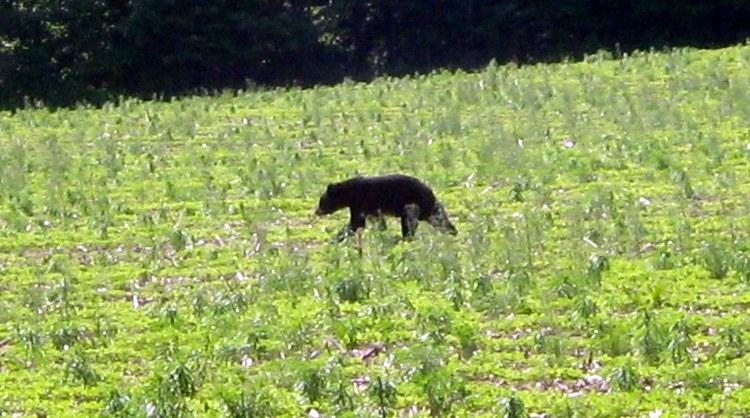 Bear Poquette Lake