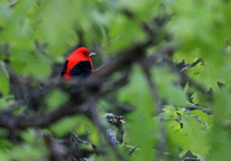 Red Bird eml