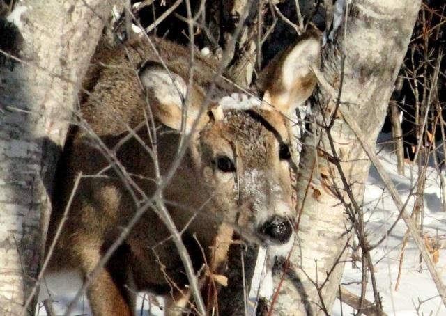 Broken antler deer eml