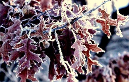 Frost Oak Leaf cp eml