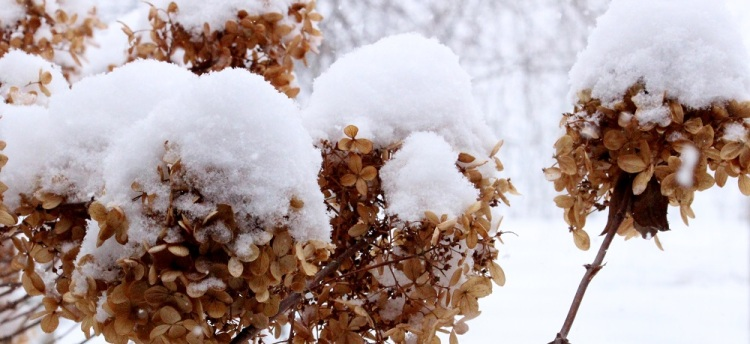 winter Hydrenga 2 cp eml