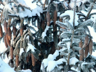 Winter Pine Cones 3 Best eml