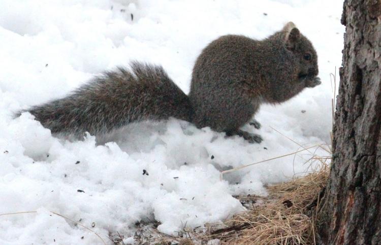 Grey Squirrel 1 eml