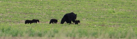 Bears 5 Pan