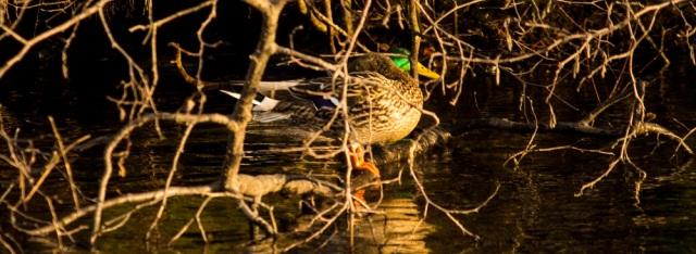 ducks eml