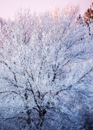 Frosty Tree 2 eml