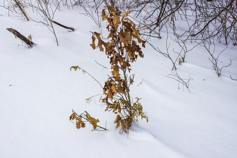 Fall Oak in winter eml