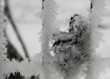 Frosty fence leaf eml